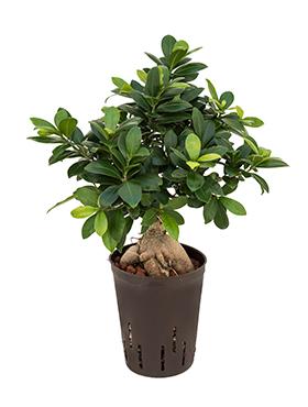 Ficus microcarpa ginseng (300 grame) 45 cm Fig bonsai