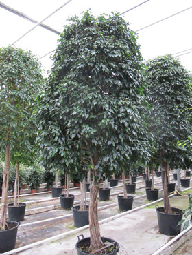 Ficus midnight lady 450 cm 86727 Banyan chinezesc- Cortina fig - Laurel indian