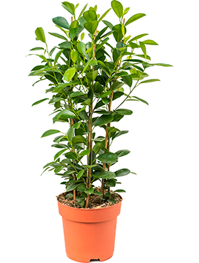 Ficus monique D40xH90 cm