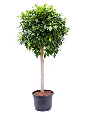 Ficus nitida 150 cm Laurel indian- Banyan chinez- Fig indian - Dafin indian