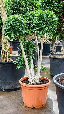 Ficus nitida 200 cm Laurel indian- Banyan chinez- Fig indian - Dafin indian