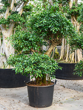 Ficus nitida 225 cm 101926 Laurel indian- Banyan chinez- Fig indian - Dafin indian