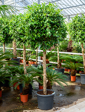 Ficus nitida 250 cm