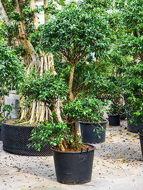Ficus nitida 275 cm 101925 Laurel indian- Banyan chinez- Fig indian - Dafin indian