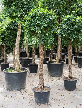 Ficus nitida 275 cm 95594 Laurel indian- Banyan chinez- Fig indian - Dafin indian