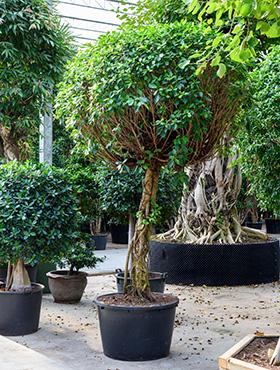 Ficus nitida 325 cm 101927 Laurel indian- Banyan chinez- Fig indian - Dafin indian