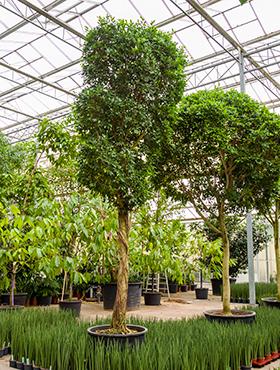 Ficus nitida 550 cm 88800 Laurel indian- Banyan chinez- Fig indian - Dafin indian