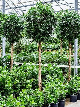 Ficus nitida D110xH300 cm Laurel indian- Banyan chinez- Fig indian - Dafin indian