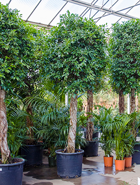 Ficus nitida D150xH425 cm Laurel indian- Banyan chinez- Fig indian - Dafin indian