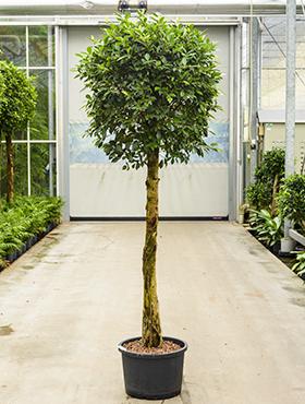 Ficus nitida D80xH210 cm Laurel indian- Banyan chinez- Fig indian - Dafin indian