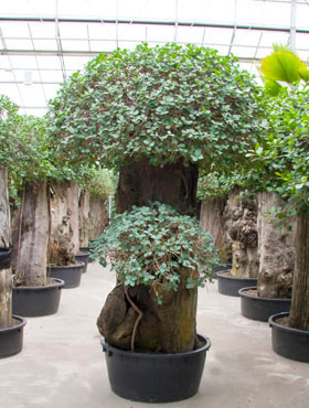 Ficus panda 280 cm Banyan chinezesc- Cortina fig - Laurel indian