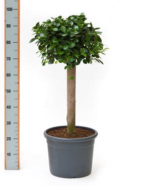 Ficus panda 95 cm Banyan chinezesc- Cortina fig - Laurel indian