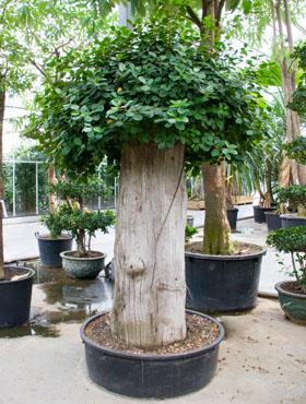 Ficus panda D250xH270 cm Banyan chinezesc- Cortina fig - Laurel indian