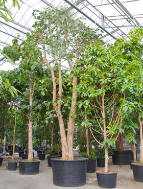 Ficus religiosa D275xH850 cm Banyan chinezesc- Cortina fig - Laurel indian