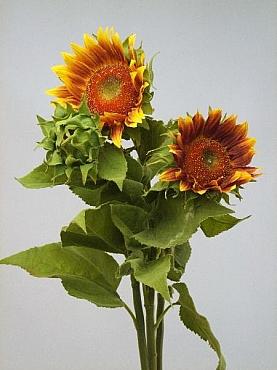 Floarea Soarelui 90 cm, set HO galben