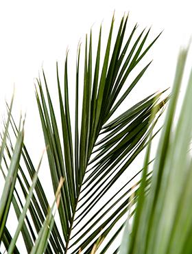 frunze palmier