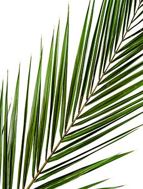 Frunza de palmier Phoenix canariensis 175 cm