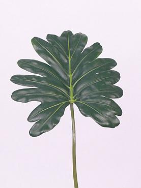 Frunza de Philodendron Imperial 58 cm