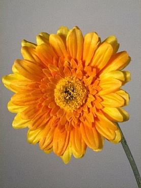 Gerbera 62 cm HO portocaliu