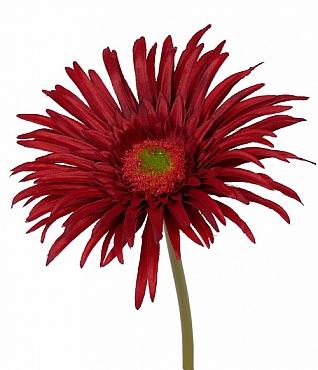 Gerbera paianjen 20 cm rosu