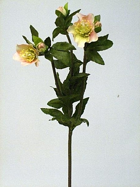 Helleborus 63 cm HO roz Christmas rose
