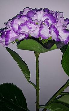 Hortensia 75 cm violet