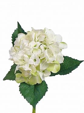 Hortensia D15XH48 cm alb - ivory