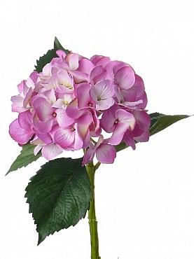 Hortensia D15xH48 cm fuchsia