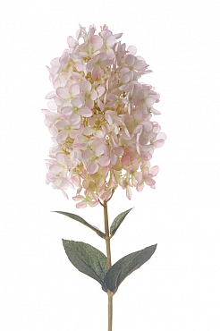Hortensia paniculata 81 cm alb