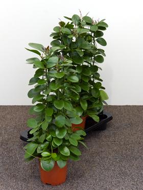 Hoya australis 60 cm Planta de ceara