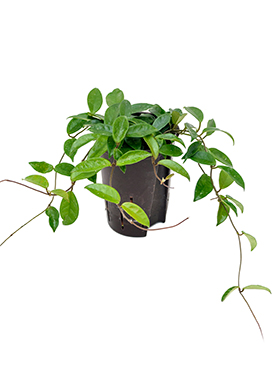 Hoya carnosa Planta de ceara