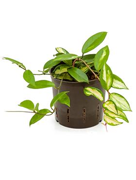 Hoya carnosa variegata D15xH15 cm Planta de ceara