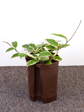 Hoya krimson queen Planta de ceara
