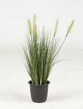 Iarba inflorita 45 cm Grass flowering