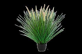 Iarba Pennisetum 55 cm Pennisetum Woodside Grass