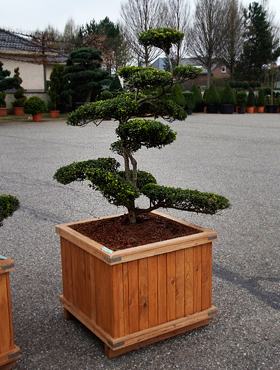 Ilex 200 cm Holly japonez - Bonsai