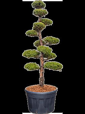 Juniperus chin. monarch D100cm x H280cm