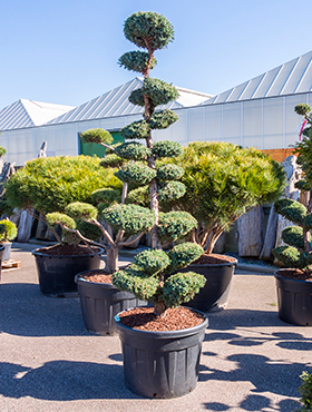 Juniperus chinensis 250 cm Ienupar chinezesc - Bonsai