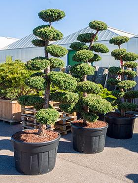 Juniperus chinensis monarch 280 cm Ienupar chinezesc - Bonsai