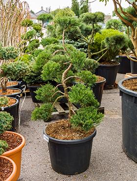 Juniperus sabina 160 cm Ienupar chinezesc - Bonsai