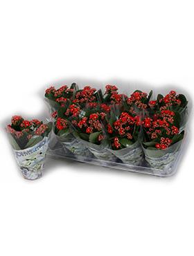 Kalanchoe blossfeldiana 15 cm