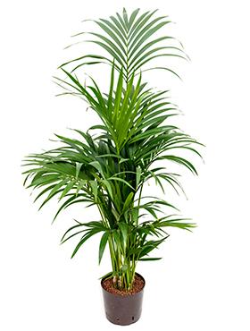 Kentia (howea) forsteriana 120 cm