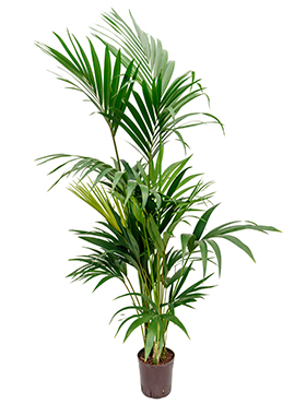 Kentia (howea) forsteriana 180 cm
