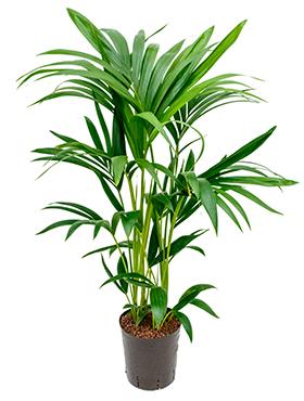 Kentia (howea) forsteriana D50xH80 cm Paie de palmier