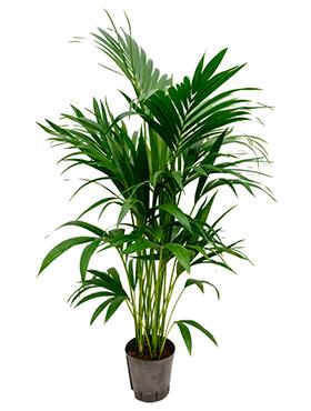 Kentia (howea) forsteriana D55xH120 cm Paie de palmier