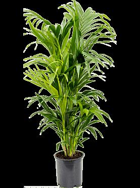 Kentia (howea) forsteriana D55xH140 cm