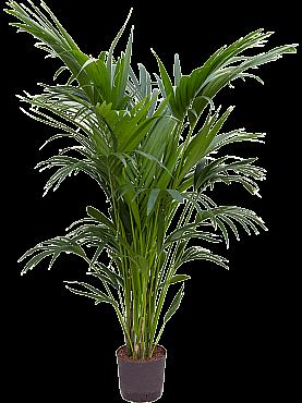 Kentia (howea) forsteriana D70xH160 cm