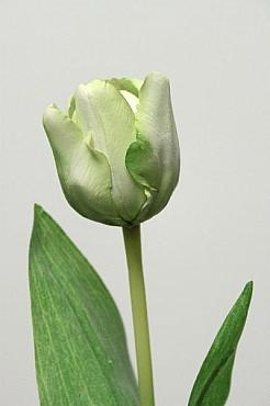 Lalea 48 cm HO verde