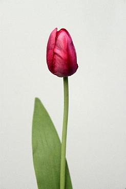 Lalea 60 cm HO roz - magenta