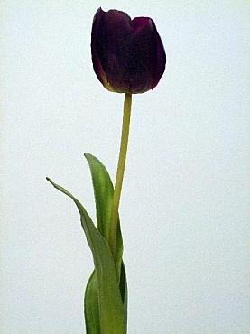 Lalea 65 cm HO mov - purpuriu